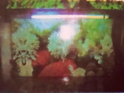 Gambar Cara Memelihara Ikan Koi Di Akuarium