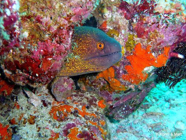 Giant moray eel, sumatera, pulau weh, sabang