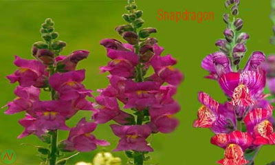 snapdragon flower,