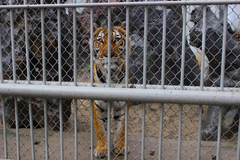 hanoi zoo lion cage