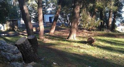 Ηγουμενίτσα: Έκοβε παράνομα πεύκα και συνελήφθη
