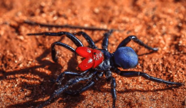 عنكبوت الماوس أحمر الرأس