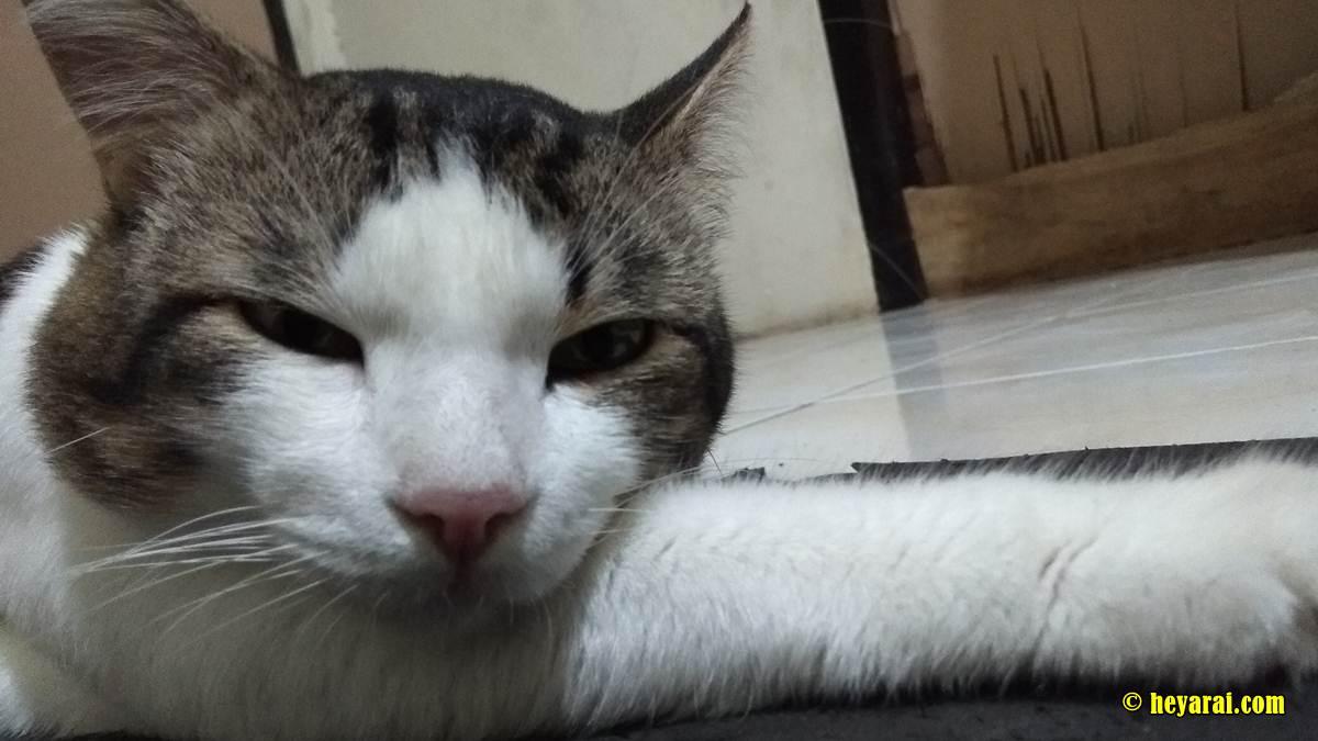 Gembul, kucing sembuh dari virus panleukopenia