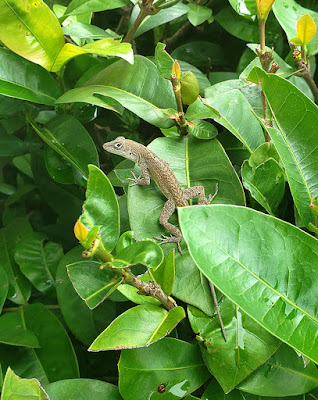 Close up of lizard on hedges
