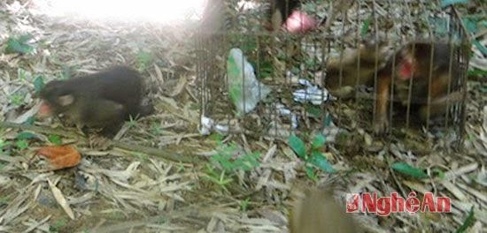 Thả 3 cá thể khỉ mặt đỏ về rừng Vườn quốc gia Pù Mát