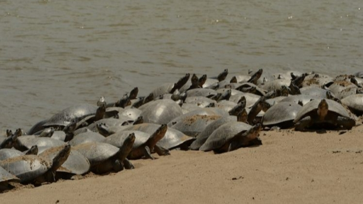 Turtle army suddenly increased in this river of Brazil