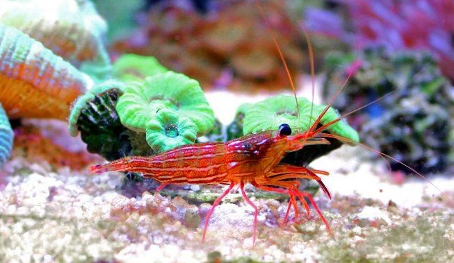 Peppermint Shrimp Care