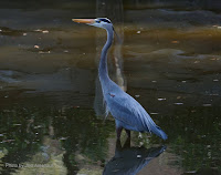 A very blue Great blue heron, Rockport Country Club, TX - by Jodi Arsenault, Feb. 11, 2017