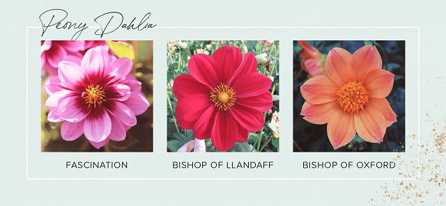 Gambar bunga dahlia Peony
