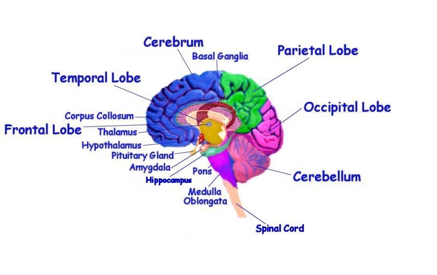 Interior Brain Diagram Electronic Wallpaper Electronic Wallpaper