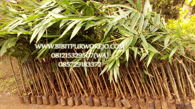 Bibit Bambu Petung