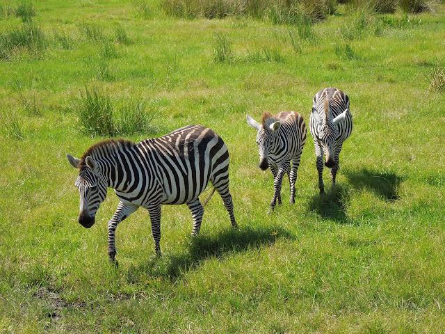 zebra parade
