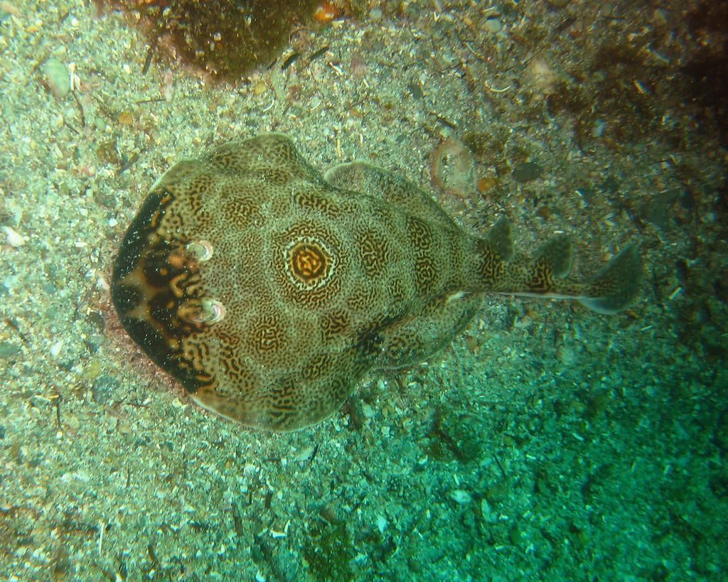 adult electric ray sting