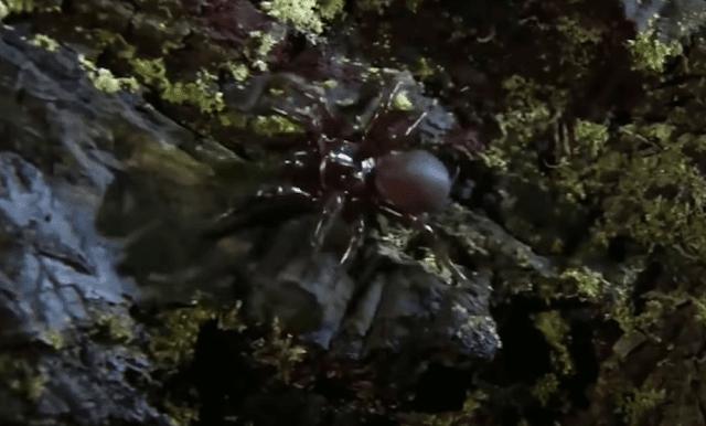 عنكبوت سيدني القمعي