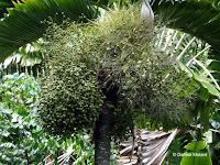 Bottle palm fruits, Foster Botanical Garden - Honolulu, HI