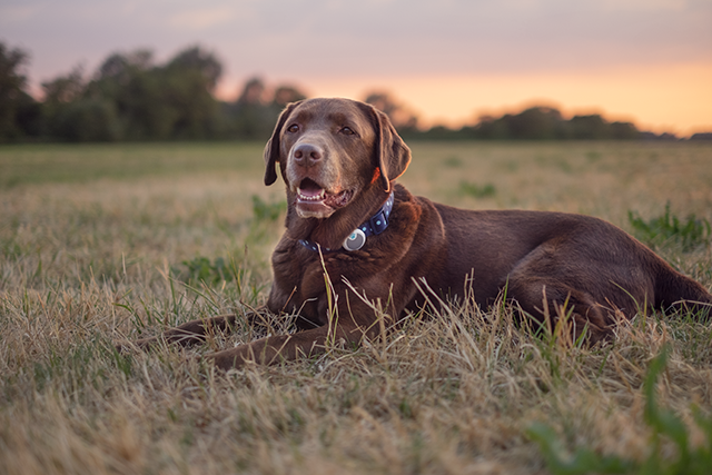 Chocolate Labrador resting in grass with Sure Petcare Animo dog activity monitor on his collar