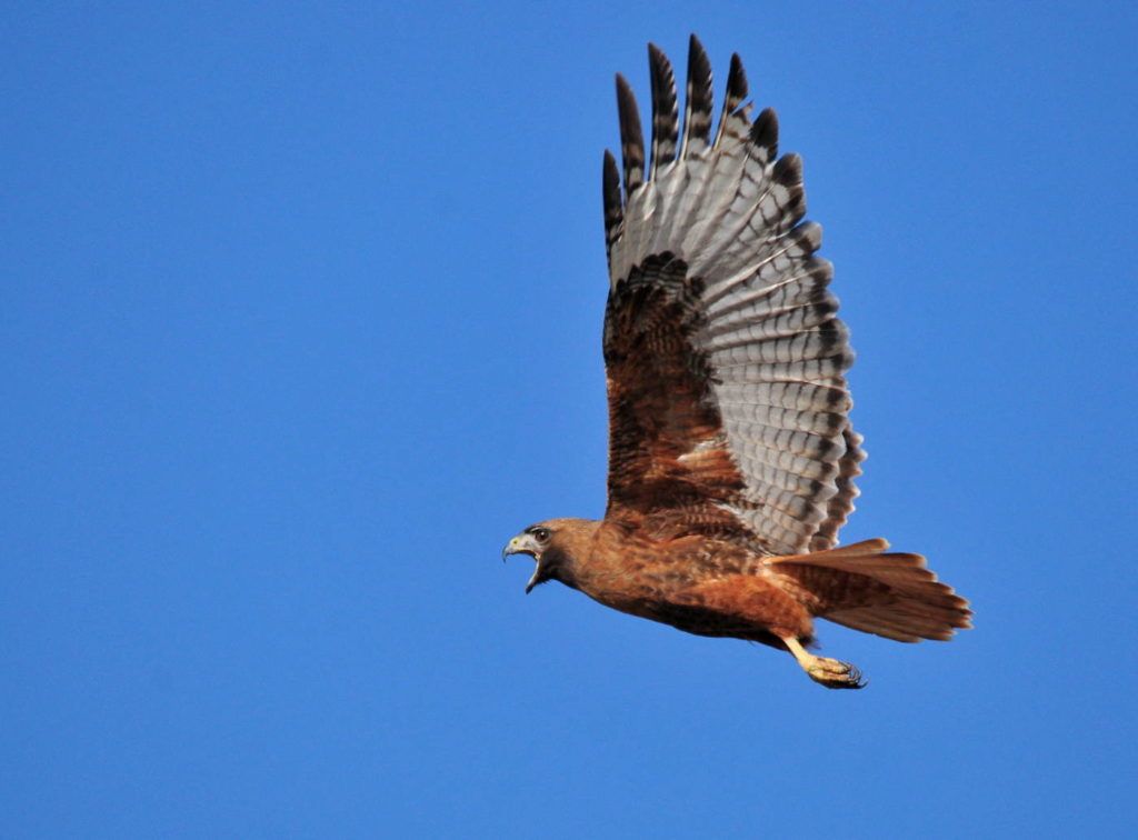 The Red-tailed Hawk (Buteo jamaicensis)