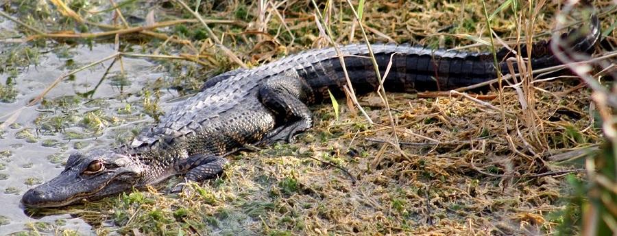 Alligator tomando el sol