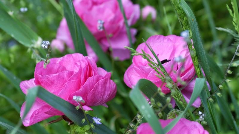 Fotografia di anemoni rosa in un giardino