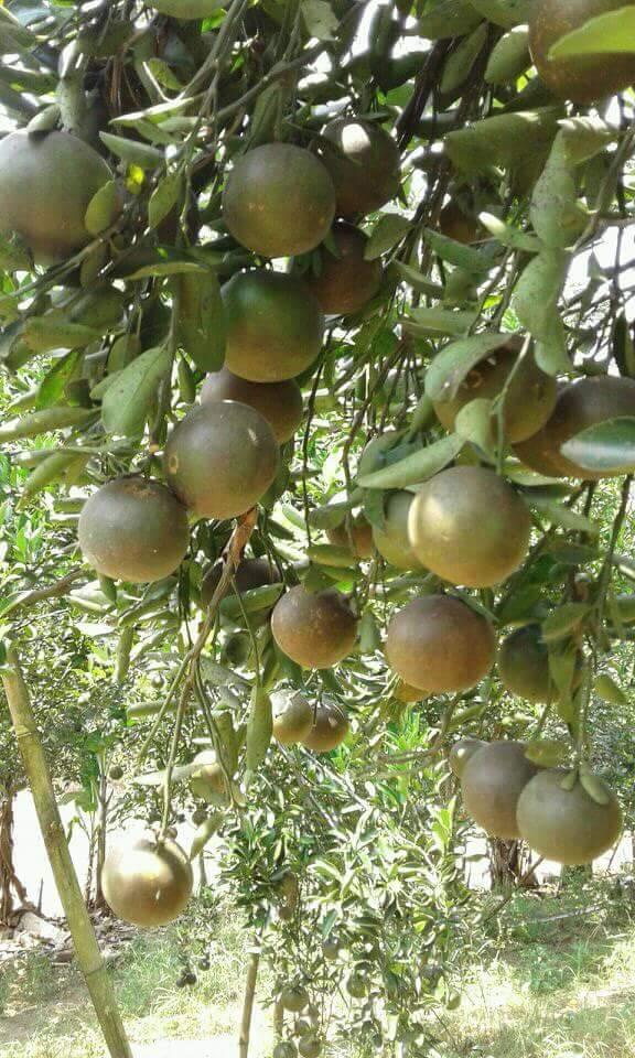 Buah jeruk berbuah lebat karena sering dilakukan pendangiran