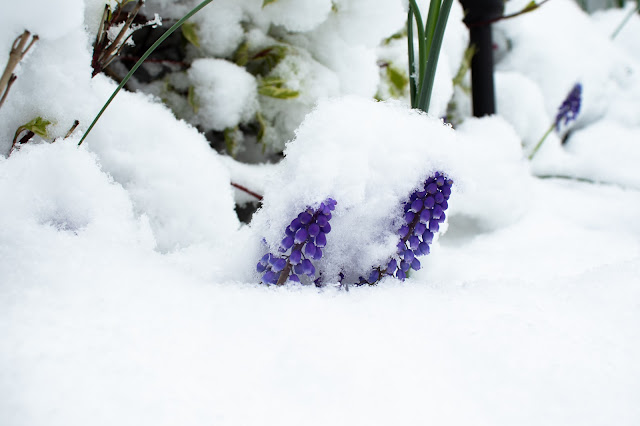 Grape hyacinth mostly buried in snow.