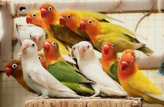 MANFAAT SAYUR KANGKUNG UNTUK BURUNG LOVEBIRD