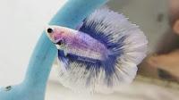 Jenis ikan cupang