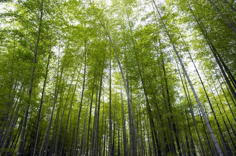 bamboo forest, bamboo forest kyoto, kyoto bamboo forest, bamboo forest in kyoto, japan bamboo forest, bamboo forest in japan,   japanese bamboo forest, arashiyama bamboo forest, bamboo forest japan, bamboo grove, bamboo japan, arashiyama bamboo grove, bamboo   in japan, japan bamboo, bamboo forest kyoto japan