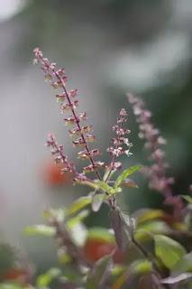 tulsi-leaves-benefits-in-hindi,tulsi-leaf-benefits-in-hindi
