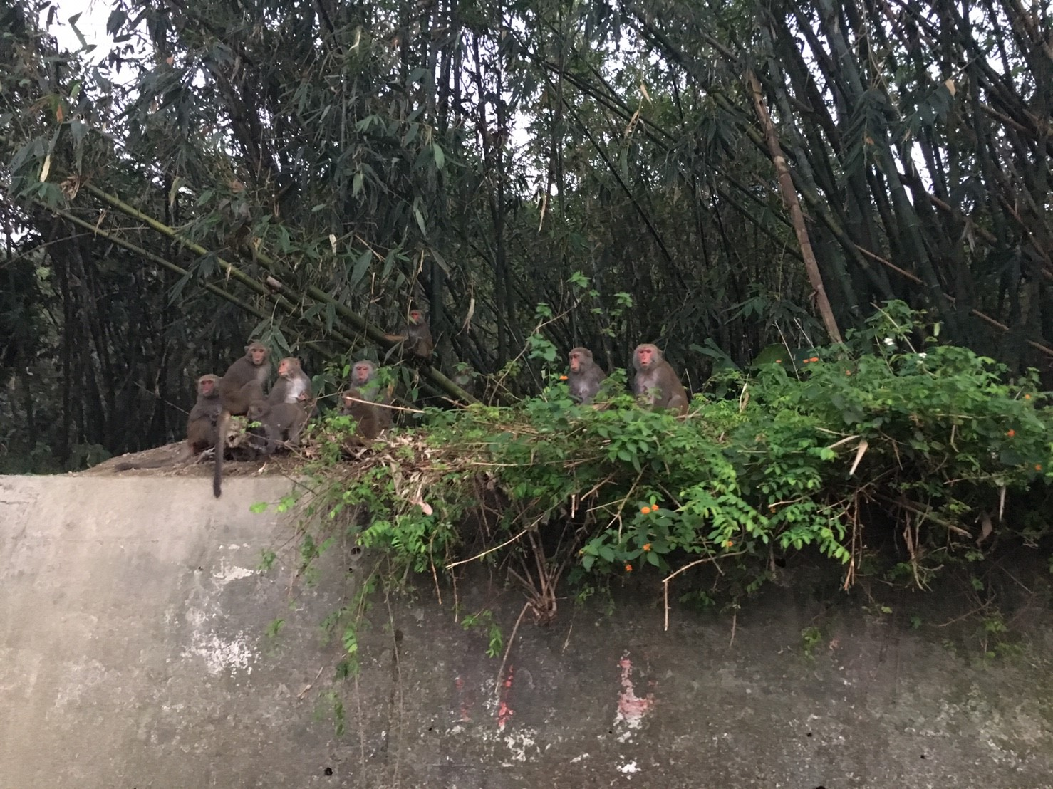 今天親眼看到雲林《林內的林北村的猴群》,但可惜沒見到傳說中的小白猴..