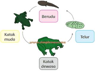 Daur Hidup Katak www.simplenews.me