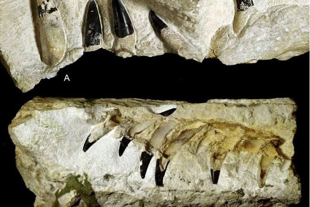 New marine reptile fossils from the Late Jurassic of Poland were found the current Polish city of Krzyżanowice