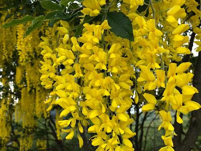 [Fabaceae] Laburnum anagyroides – Common Laburnum (Maggiociondolo)