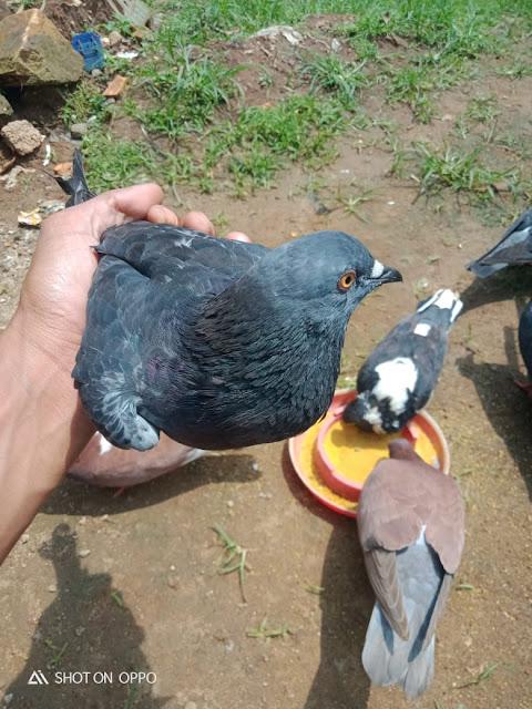 Cara merawat burung merpati tinggian
