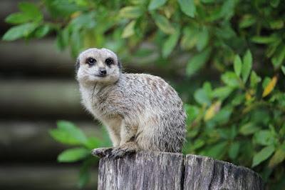 Meerkat at Paradise Wildlife Park