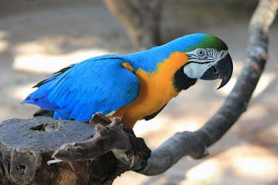 Considerations for Having a Parrot as a Pet Considerations for Having a Parrot as a Pet