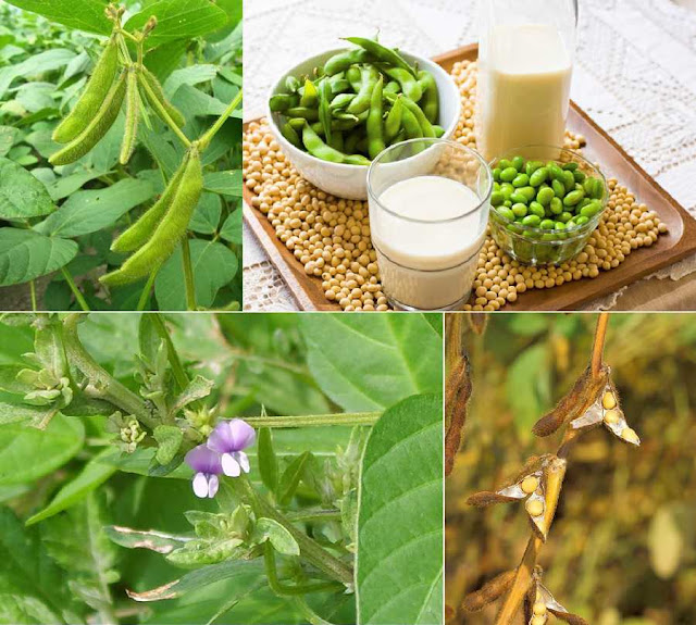 ĐẬU NÀNH - Glycine soja - Nguyên liệu làm Thuốc Bổ, Thuốc Bồi Dưỡng