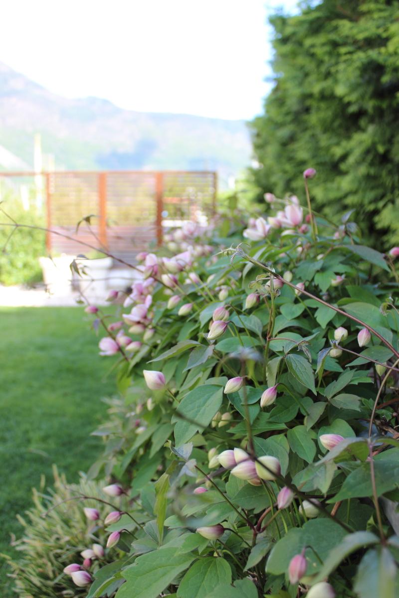 Garten im April bei kebo homing, Clematis, Waldrebe, Ikeahack Sichtschutz Garten, Applarö, minimalistischer Garten, Frühling
