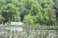 Lotus Flower at Lake Wendouree
