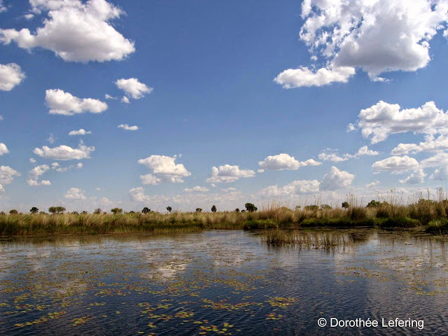 The water of the Okavango Delta covered in water lillies under a blue sky with fluffly white clouds.
