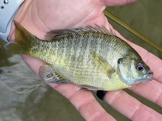 Bluegill, Bluegill Sunfish, Bluegill Sunfish on the Fly, Sunfish, Sunfish on the Fly, Sunfish of Texas, San Gabriel River, Georgetown, Texas, Fly Fishing, Fly Fishing Texas, Texas Fly Fishing, Texas Freshwater Fly Fishing, Fly Fishing the San Gabriel River