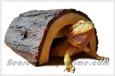 Bearded dragon cage decor