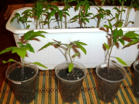 пикорованные помидоры гибрид 2
