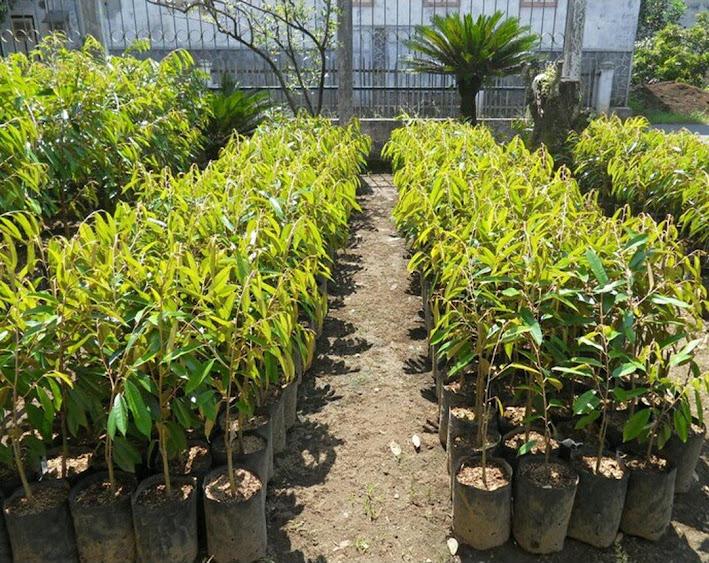 Bibit Tanaman Durian Pelangi Manokwari Unggul Cepat Berbuah Termurah Sumatra Utara