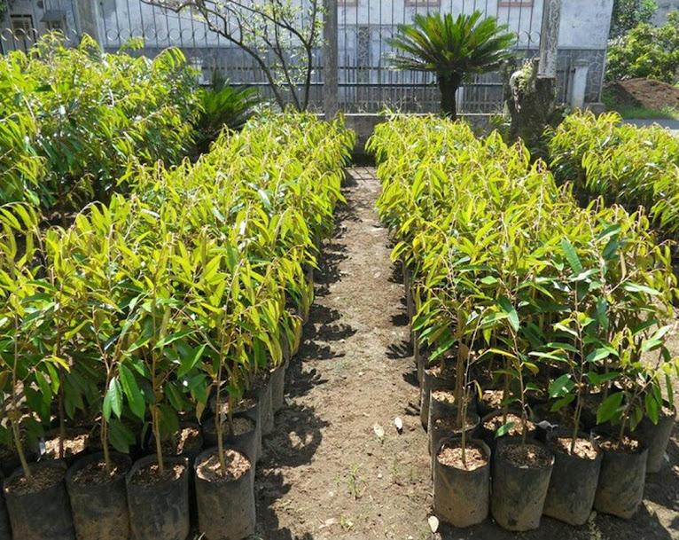 Bibit Tanaman Durian Pelangi Manokwari Unggul Cepat Berbuah Termurah Jawa Timur