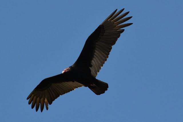 Everglades Rivers eagle
