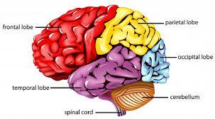 Bagian-Bagian Otak dan Fungsinya Beserta Penjelasan