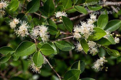flores de guamini