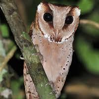 Serak Bukit Oriental Bay Owl
