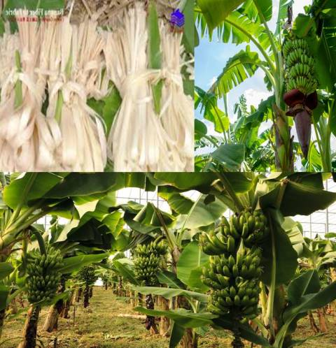Banana Fruit, Trees, Leaves & Roots, Major Income Source
